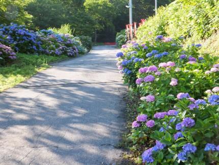 参道と紫陽花1
