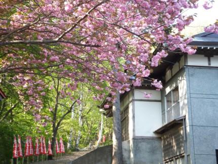 春の参道と桜4